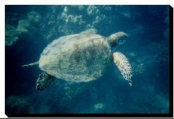 'Green Sea Turtle' Gallery-wrapped Canvas Art - Thumbnail 1