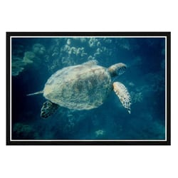 'Green Sea Turtle' Framed Art Print