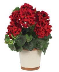 Silk Geranium Flower Plant - Thumbnail 1