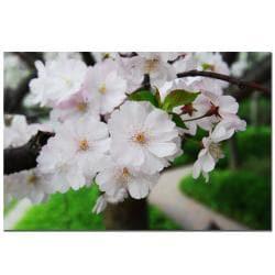 Kurt Shaffer 'Cherry Blossom' Gallery-wrapped Canvas Art - Thumbnail 2