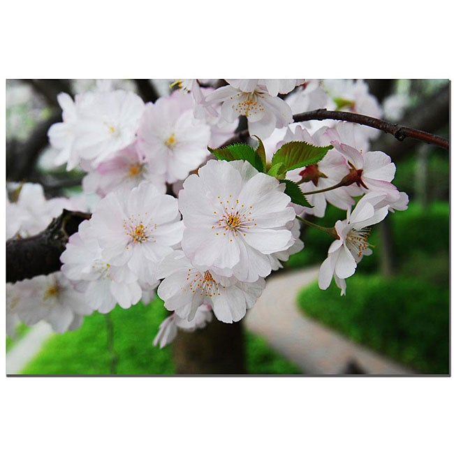 Kurt Shaffer 'Cherry Blossom' Gallery-wrapped Canvas Art