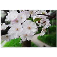 Kurt Shaffer 'Cherry Blossom' Gallery-wrapped Canvas Art  - White