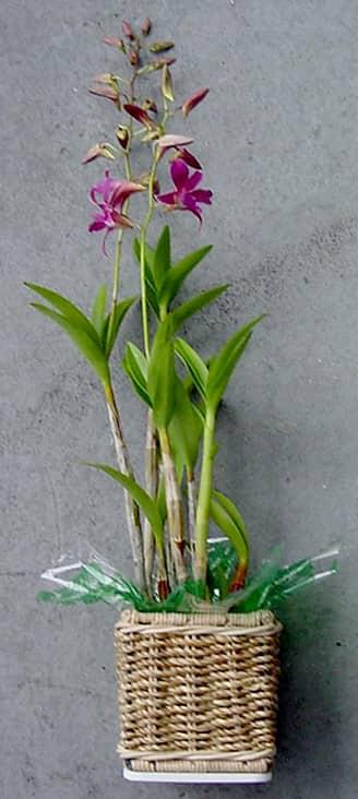 Potted Dendrobium Plant