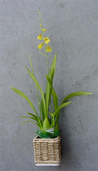 Kaimu Potted Oncidium Orchid Plant