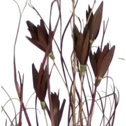 Deep Brown Grass with Flowers Botanical Accent (Indonesia)