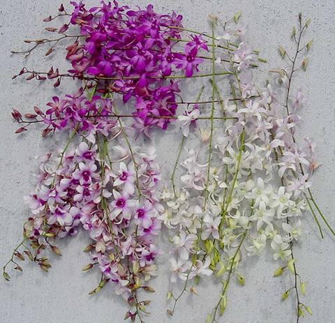 Dendrobium Orchids (50 stems)