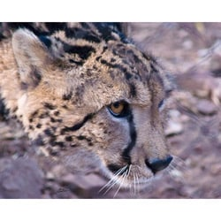 Stewart Parr 'Cheetah in South Africa Watchful' Photo Print