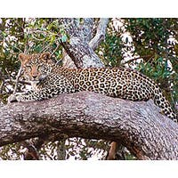 Stewart Parr 'Leopard in Kenya - Resting' Photo Art