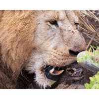 Stewart Parr 'Lion in the Kenya - Serengeti Plains - Eating' Photograph
