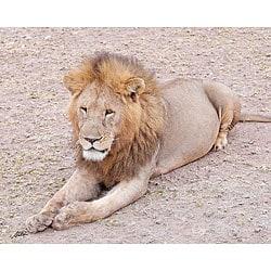 Stewart Parr 'Lion in the Kenya Serengeti Plains Posing' Photo Art