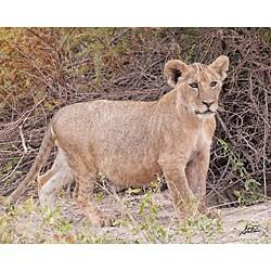 Stewart Parr 'Cub Lion in the Kenya Serengeti Plains Walking' Photo Print
