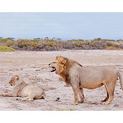 Stewart Parr 'Lioness and Lion in Kenya Barking Orders' Photo Print