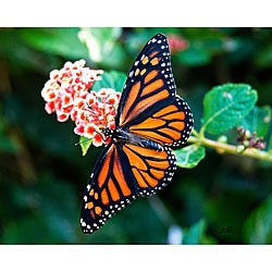Stewart Parr 'Monarch Butterfly Spread Wings on Lantana' Photo Art