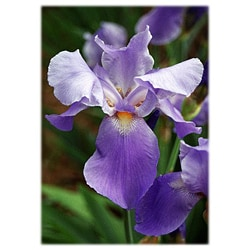 Orange Cat Art Sheri Symanski 'Purple Iris' Photographic Print