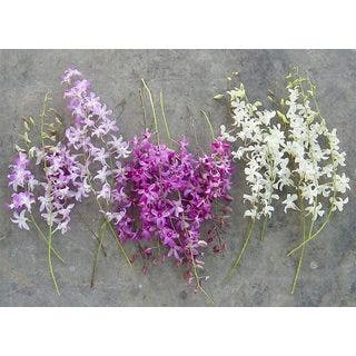 Dendrobium Orchids (Pack of 100)|https://ak1.ostkcdn.com/images/products/61832/P918997.jpg?impolicy=medium