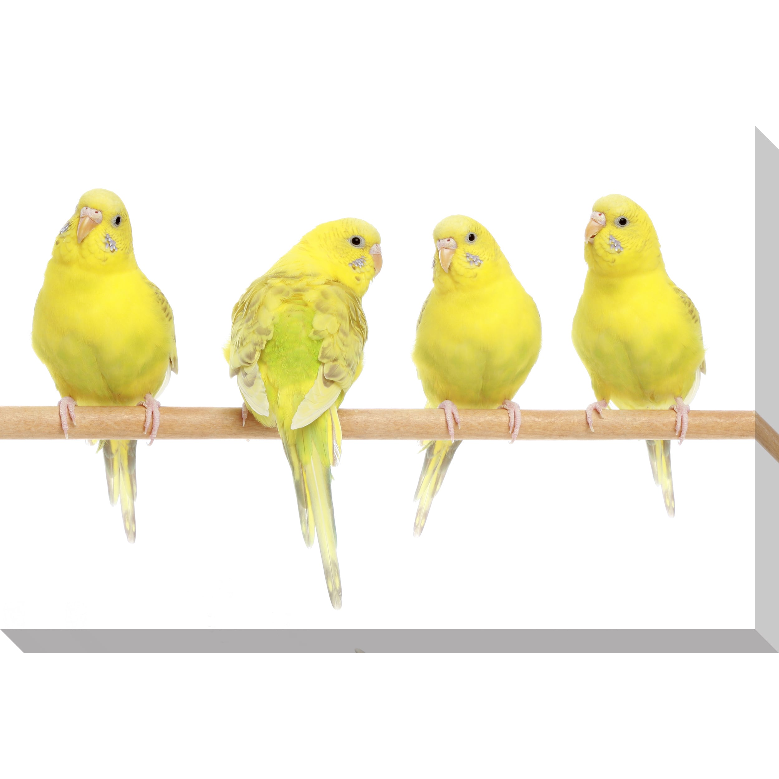 Shop Gallery Direct Yellow Budgie Birds Oversized Gallery Wrapped ...