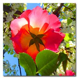 Amy Vangsgard 'Rose Under Tree' Canvas Art