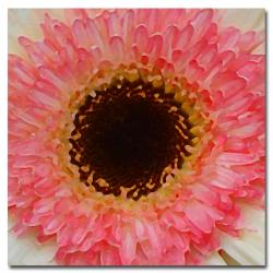Amy Vangsgard 'Pink and Brown Gerber Center' Canvas Art - Thumbnail 0