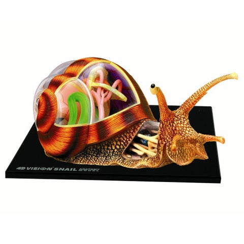 4D Snail Anatomy Model Kit