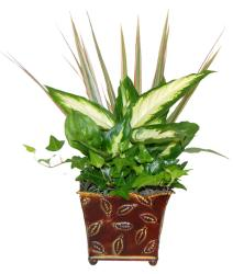 Maroon Feather Leaf Live Tropical Evergreen with Six-inch Planter