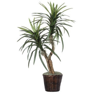 Marginata Bush (4')