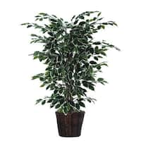 4-foot Variegated Ficus Bush