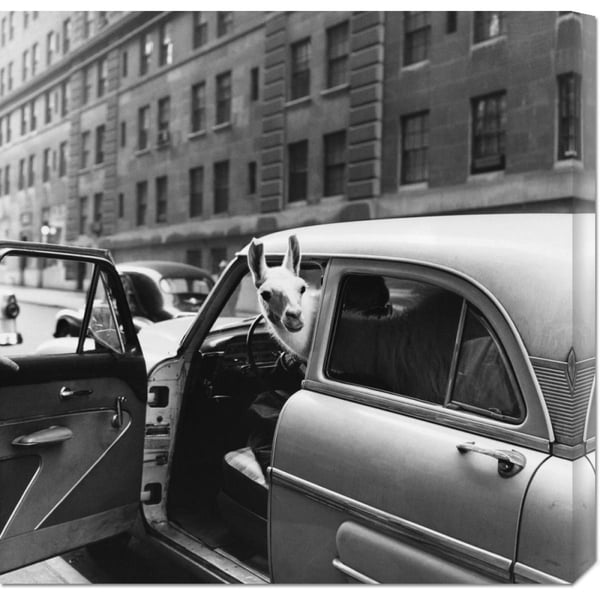 Global Gallery Anonymous 'Llama in a car, ca. 1950' Stretched Canvas Art