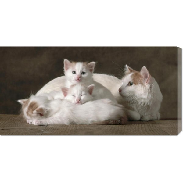 Global Gallery Yann Arthus-Bertrand 'Van Colored White and Red Turkish Angora Cats' Stretched Canvas Art