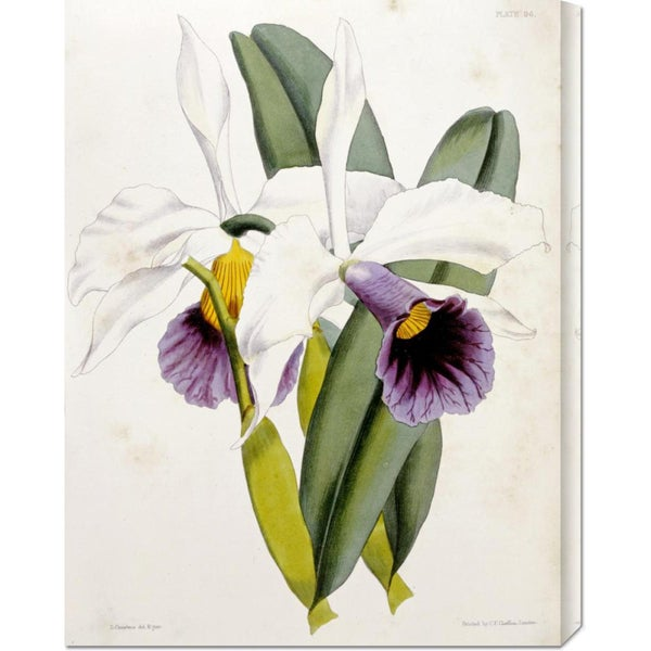 Global Gallery William Curtis 'Lily' Stretched Canvas Art