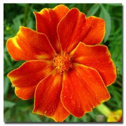 Kathie McCurdy 'Marigold' Canvas Art - Thumbnail 0