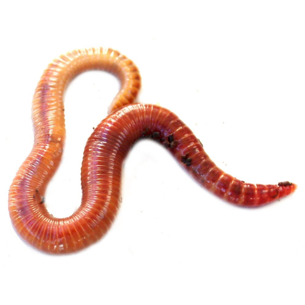Sun Joe 1,800-Count Red Wiggler Worm Farm