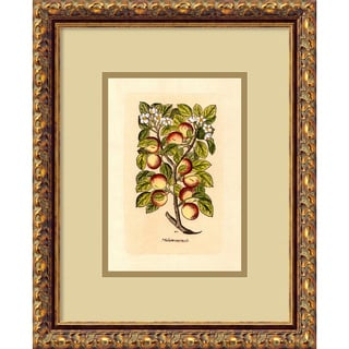Apple (Malum Reginale)' Framed Art Print (13 x 16-inch)