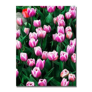 Kurt Shaffer 'Purple White Tulips and One Red' Canvas Art