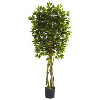 5.5-foot Ficus Tree