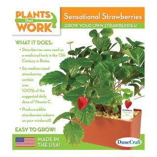 Sensational Strawberries Plant Kit|https://ak1.ostkcdn.com/images/products/8646035/Sensational-Strawberries-Plant-Kit-P15907389.jpg?impolicy=medium