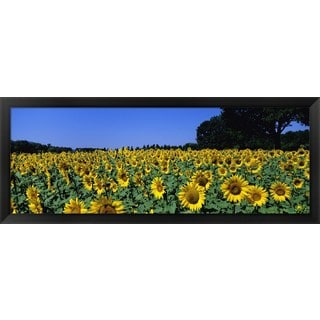 'Sunflowers In A Field, Provence, France' Framed Panoramic Photo