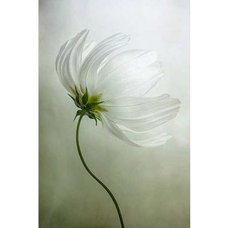 Mandy Disher 'Cosmos Charisma' Canvas Art