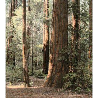 Laura Culver 'Redwoods 2' Canvas Art