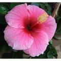 Hawaiian Pink Hibiscus Cuttings (4 Pack)