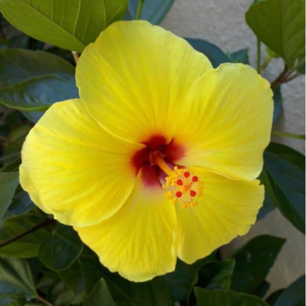 Hawaiian Yellow Hibiscus Cuttings 4 Pack Free Shipping