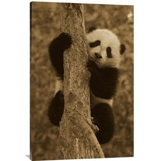 Global Gallery San Diego Zoo 'Giant Panda Cub in Tree' Stretched Canvas Art - Multi