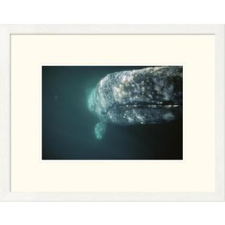 Global Gallery Tui De Roy 'Gray Whale curious adult investigating underside of boat, Baja, Mexico' F