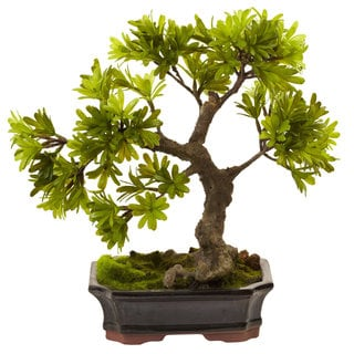 Podocarpus with Mossed Bonsai Planter