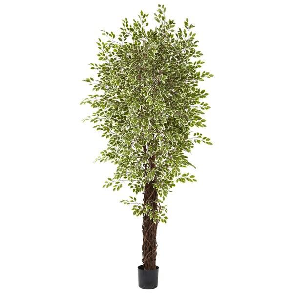 Variegated Mini Ficus Silk Tree