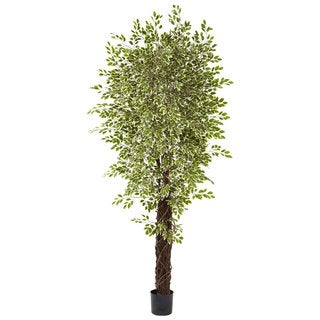 Variegated Mini Ficus Silk Tree