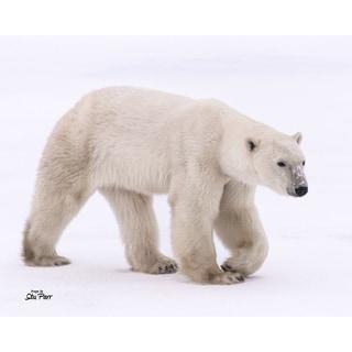 Stewart Parr 'Polar Bears from Churchill, Canada Pose #3' Unframed Photo Print