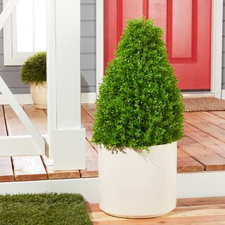 30-inch Boxwood Tree with Green Pot