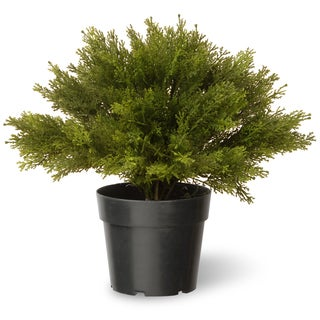15-inch Globe Juniper with green Pot