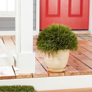 15-inch Junupier Bush with Green Pot