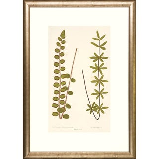 Two Transitional Ferns Framed Art Print